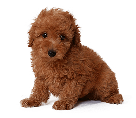 detailMain_toy-poodle.png